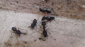 Jazz ants 1.jpg