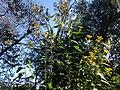 Jerusalem artichoke (Helianthus tuberosus).jpg
