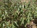 Jimson Weed in field.jpg
