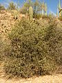 Jojoba Bush - Flickr - treegrow.jpg