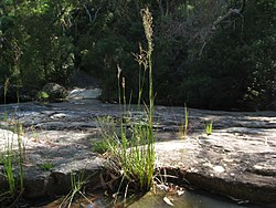 Juncus microcephalus maybe or maybe not (5377147695).jpg