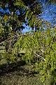Juniperus saxicola CF9A4503.jpg