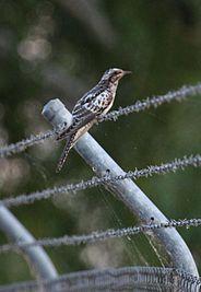 Juv pallid cuckoo - Christopher Watson.jpg