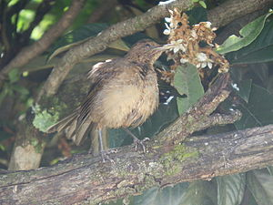 Clay-colored thrush - Juvenile bird, San José, Costa Rica