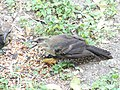 Juvenile Great-Tailed Grackles squawking for food 3.jpg