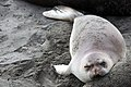 Juvenile elephant seal relaxing on the beach (31629125835).jpg