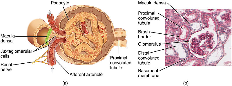 Glomérulo renal - Wikiwand