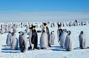 Wildlife of Antarctica - Emperor penguins (Aptenodytes forsteri) are the only animals to breed on mainland Antarctica during the winter.