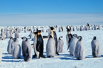 Emperor penguin - Adults with chicks