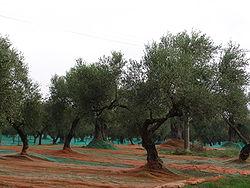 Kalabrien Oliven 2257.jpg