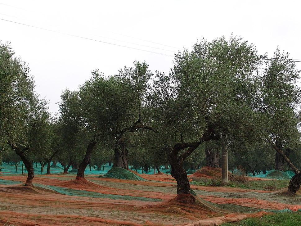 Kalabrien Oliven 2257
