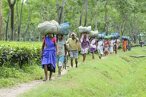 Tea-tribes of Assam - Tea Garden workers in a tea garden near Kalaigaon, Darrang district