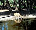 Kanchan mruga (Golden deer).jpg