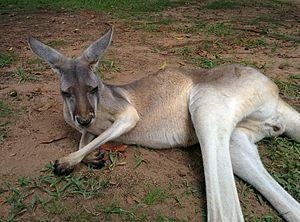 Kangaroo - Vikidia, the encyclopedia for children, teenagers