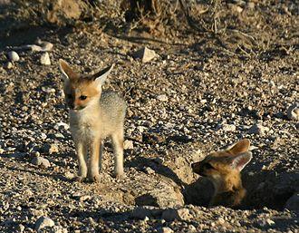 Cape fox - Cape fox kits