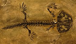 Karaurus sharovi skeleton 34.JPG