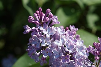 Aestivation (botany) - Image: Kashira lilacs 01