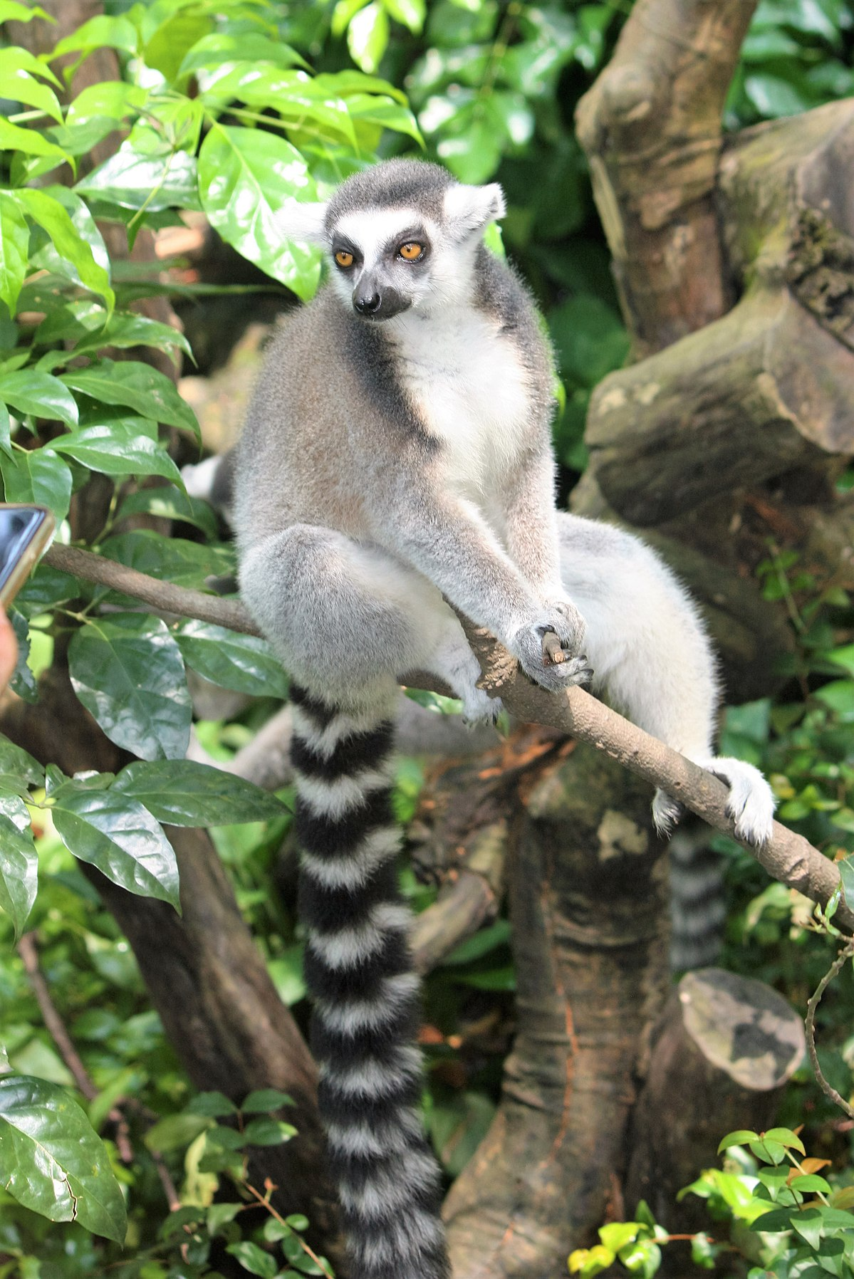 Q Son Los Lemures Lemur catta - Wikipedi...