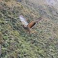 Kea in flight.jpg