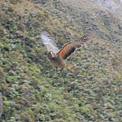 Kea in flight.jpg