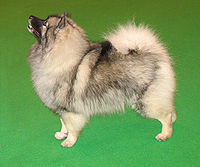 A Keeshond named Majic at the 2007 Crufts Dog ...