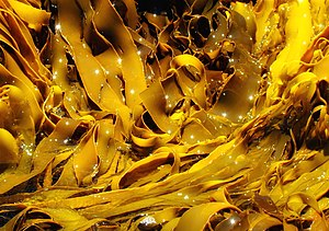 Phycology - Kelp in Hazards Bay, Freycinet National Park, Tasmania, Australia