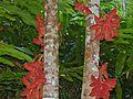 Kelumpang Sarawak (Sterculia megistophylla) (Sterculiaceae) (8080149256).jpg