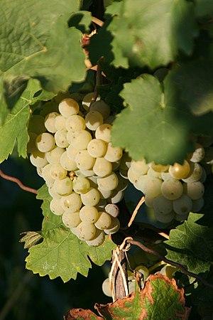 Kerner (grape) - Kerner grapes
