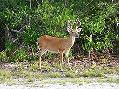 Key deer male