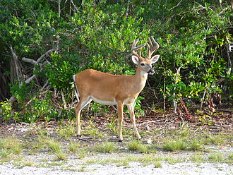 Endangered Species Act of 1973 - Key deer