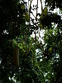 Kigelia africana -fruit.JPG
