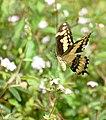 King Swallowtail (Papilio thoas) (39853247775).jpg