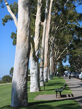 Corymbia citriodora - An avenue of Lemon-scented Gums in Kings Park, Perth, Western Australia