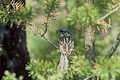 Kirtland's Warbler George.jpg