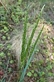 Koeleria macrantha kz03.jpg