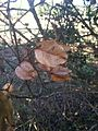 Koelreuteria bipinnata seed pods.JPG
