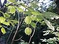 Korina 2015-09-01 Staphylea pinnata.jpg