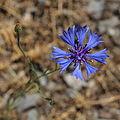 Kornblume Centaurea cyanus 7756.jpg