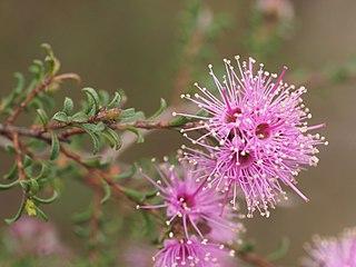 <i>Kunzea</i> Genus of flowering plants