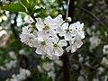 Kwitnąca wiśnia - panoramio.jpg