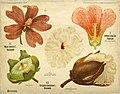 Léopold Kny et Albert Peter-Planches botaniques murales (2).jpg