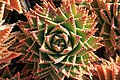 La Palma - Los Llanos de Aridane - Las Manchas - Plaza de Glorieta - Aloe perfoliata 01 ies.jpg
