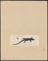 Lacerta vivipara - 1700-1880 - Print - Iconographia Zoologica - Special Collections University of Amsterdam - UBA01 IZ11400235.tif