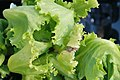 Lactuca sativa Buttercrunch 1zz.jpg