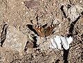Ladakh Tortoishell. Nymphalini Aglais Ladakensis - Flickr - gailhampshire.jpg