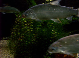 Lake whitefish