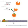 Laktoosi operoni kataboliitne repressioon.png