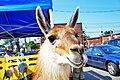 Lama watching you - panoramio.jpg