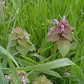 Lamium purpureum HDR.jpg