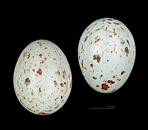 Splendid starling - Eggs of Lamprotornis splendidus MHNT